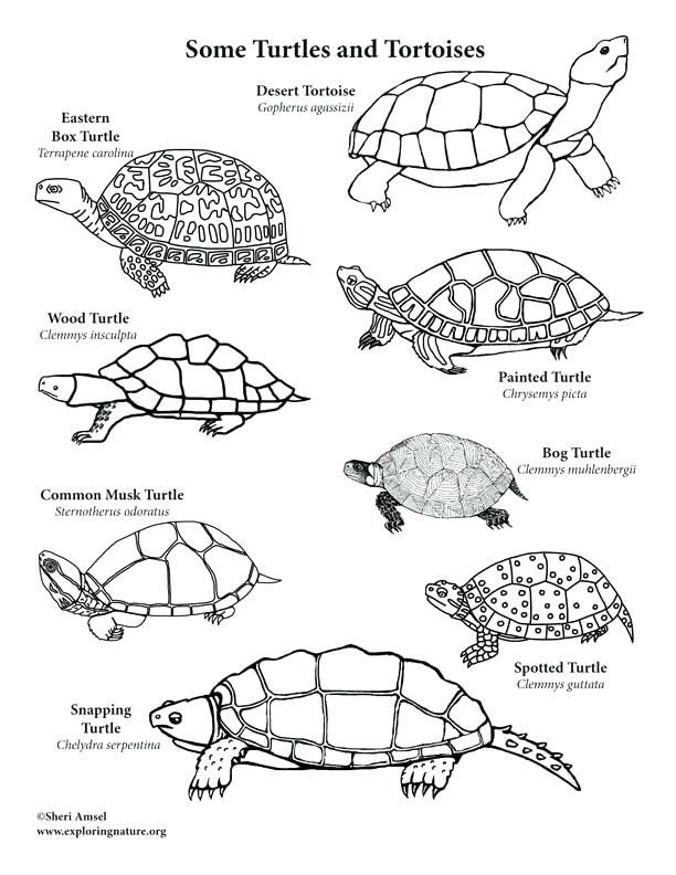 Snapping Turtle Coloring Page Youngandtae Com Turtle Coloring Pages Turtle Painting Ninja Turtle Coloring Pages