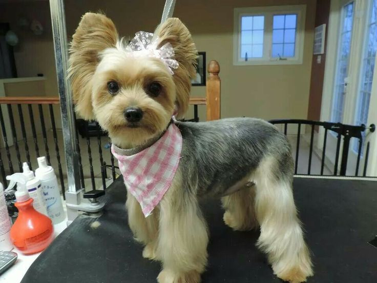 Pin By The Groomers Profit Generating Kit On Yorkie Hairstyles