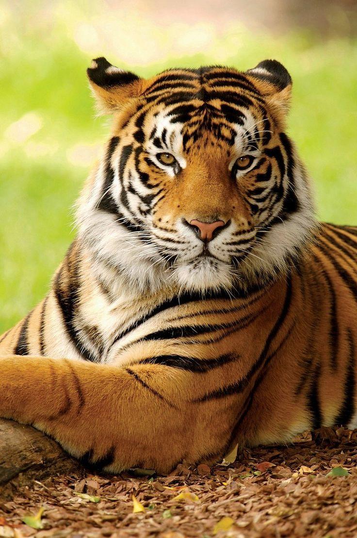 Tiger Tiger Tiger-Tiger HI-YA-NO-MIE'