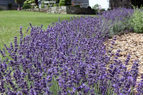It is hard to beat a hedge of lavender in bloom.