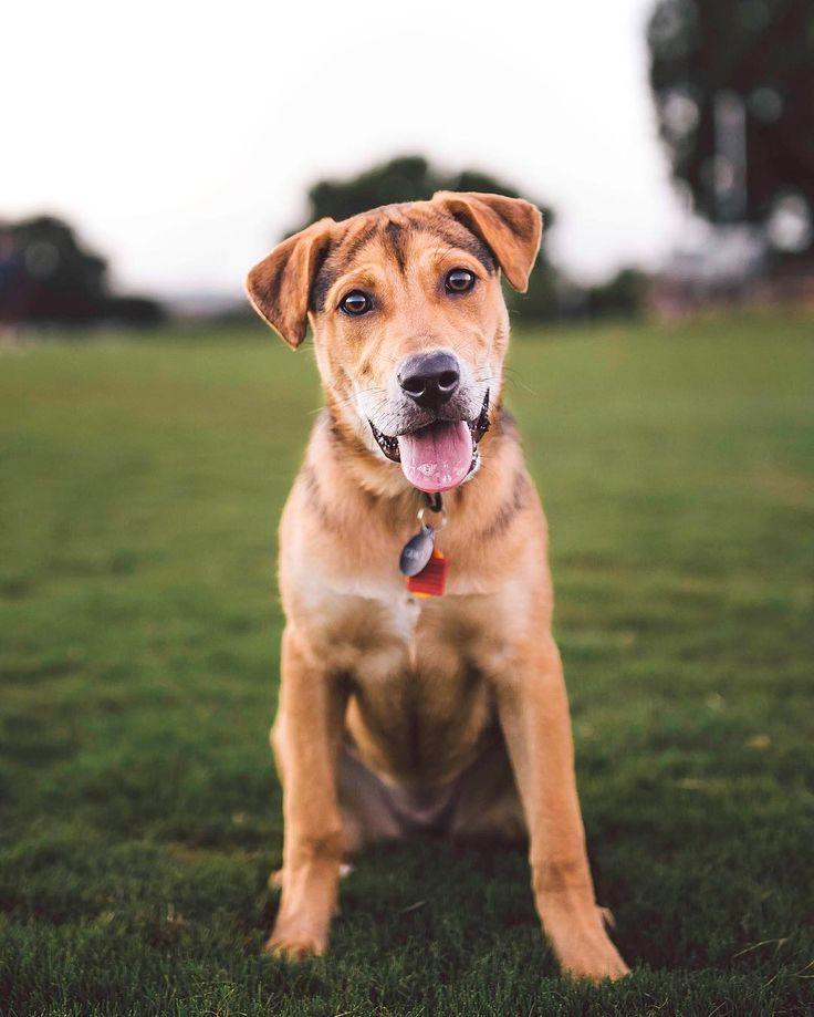 "2,455 Me gusta, 35 comentarios - Zilker Bark (@zilkerbark) en Instagram: ""Grace, the 5mo old Beagle/Rottweiler/Lab mix.  The perfect mutt."""