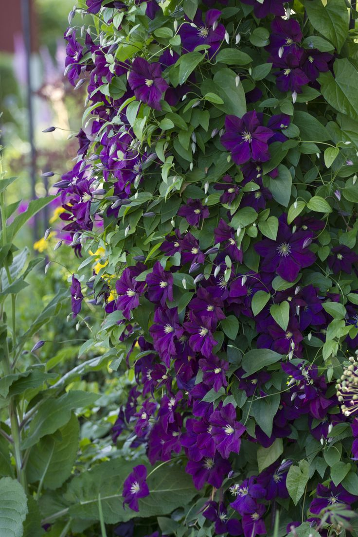 498 best vines images on pinterest gardens beautiful and flowers clematis etoile violette dhlflorist Images