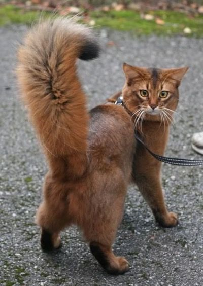 Check out the awesome face on this kitty…and what a fabulous tail !