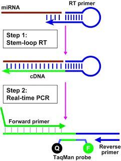 microRNA: The stem-loop RT-PCR