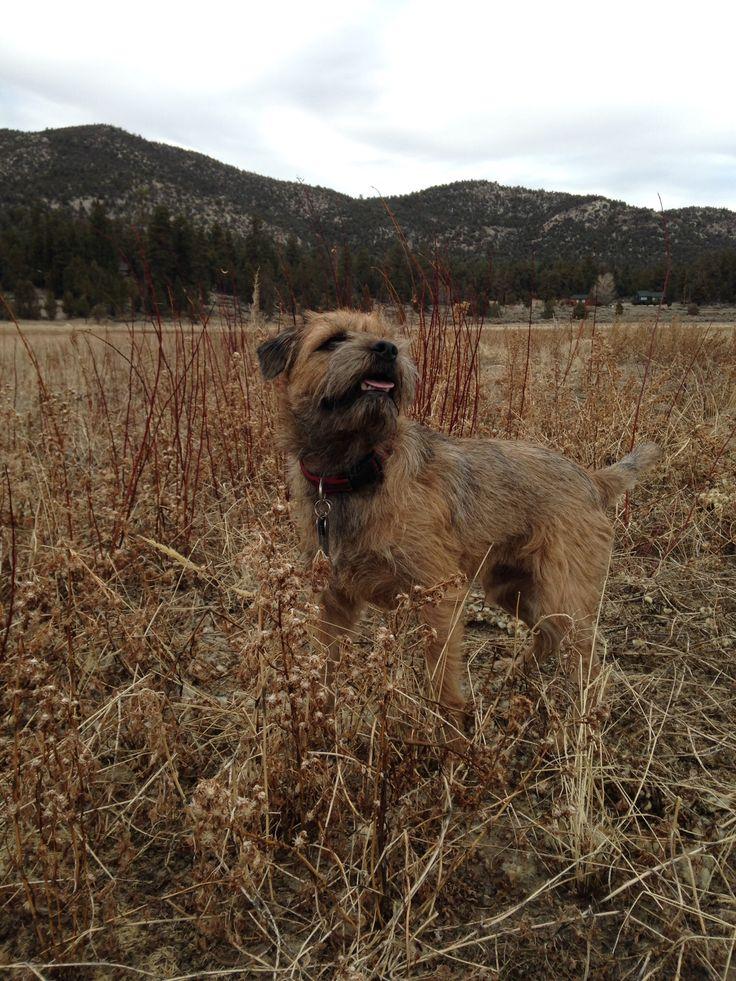 Jack The Border Terrier