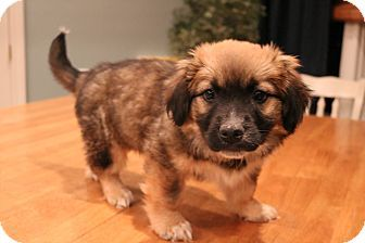 Rossi | Adopted Puppy | y | Southington, CT | Basset Hound/Australian Shepherd Mix