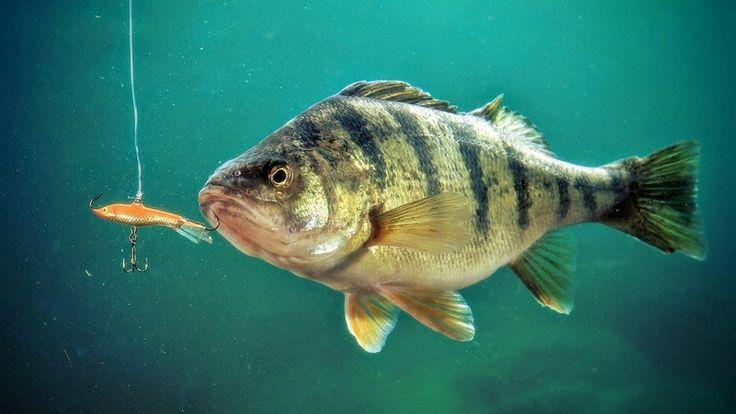 Ловля окуня зимой на балансир начинается с поиска активной рыбы. Поиск окуня - основа успешной рыбалки на балансир, поймать которого - лишь дело техники.