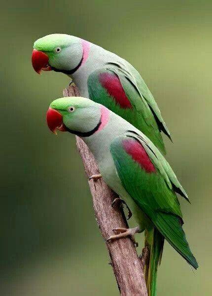 Indian Rose-necked Parakeet / ワカケホンセイインコ https://en.wikipedia.org/wiki/Rose-ringed_parakeet