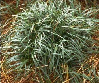 Ophiopogon japonicus - Muguet du Japon - Pépinière, plantes, jardinerie, vente en ligne