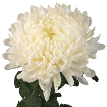FiftyFlowers.com - White Football Mum Flower - 6 bunches or 60 stems for $109.99