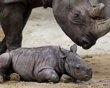 Rhino baby Mala rests while mother Mana watches the scene in their enclosure in the Magdeburg zoo, Germany Saturday Jan. 28, 2012.