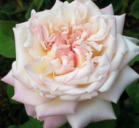 """ William R. Smith "" - Tea rose - Light pink, darker outer petals, yellow undertones - Strong fragrance - Richard Bagg (US), 1908"