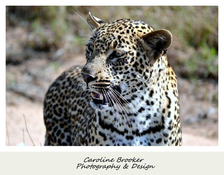 Female Leopard Sabi Sands, Mpumalanga