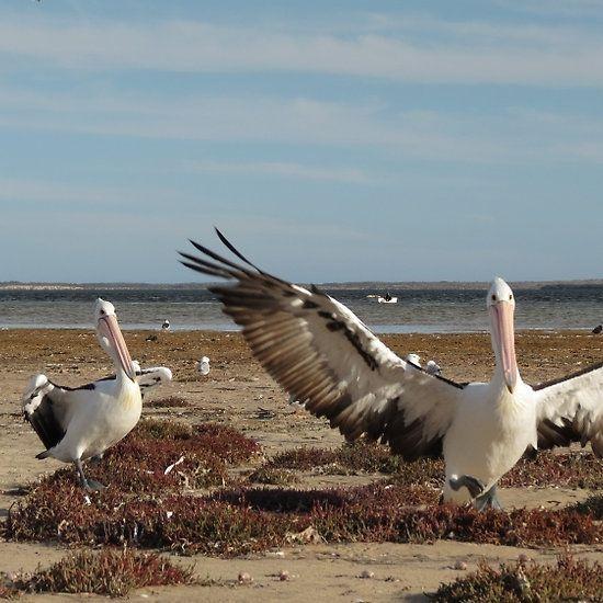 Pelican greetings