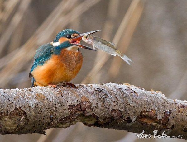 Kungsfiskare - Seglare, kungsfiskare, biätare, blåkråka och härfågel - Svenska…