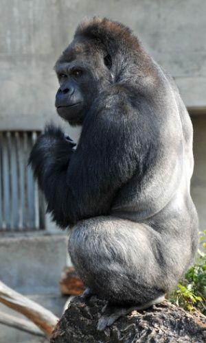 O gorila Shabani, que tem 18 anos e pesa cerca de 180 kg, no zoológico Higashiyama, em Nagoya, no Japão. O número de visitantes do sexo feminino aumentou desde que o animal foi escolhido como estrela do festival da primavera no zoológico. Segundo o porta-voz Takayuki Ishikawa, as mulheres são atraídas pelo seu físico e pelos trejeitos de galã