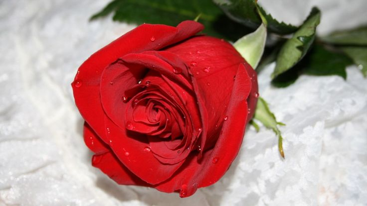 Beautiful Red Rose Images & HD Wallpapers 2017