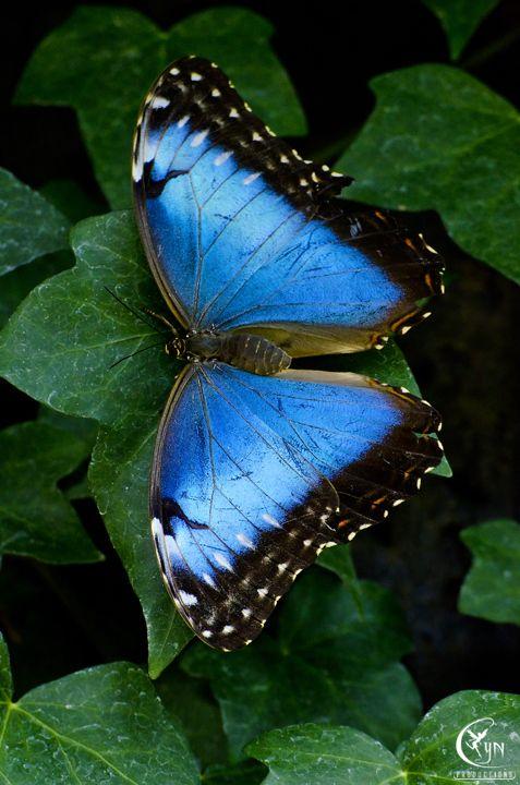 """Giant Blue Morpho / """"Talvez o tudo não exista já que tudo está em transformação."""" (Verônica Suelem)"""