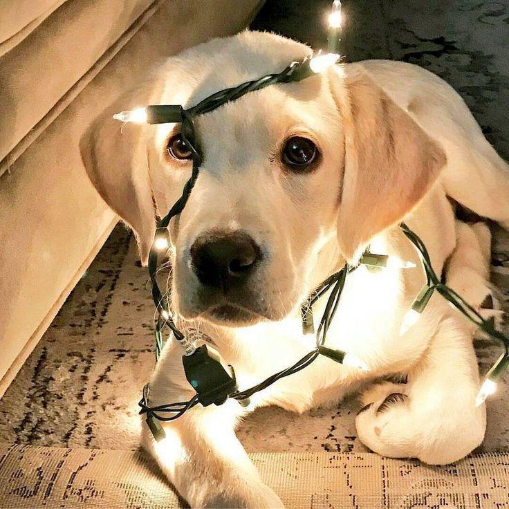 """Labrador Retriever Pup ~ Classic """"You Light Up My Life"""" Look"""