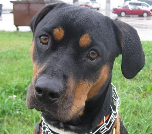 rottweiler pitbull mix. Face of a pit, markings of a rotty :)
