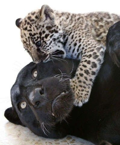 Black jaguar and cub.  Adorable!  And gorgeous!  :o)