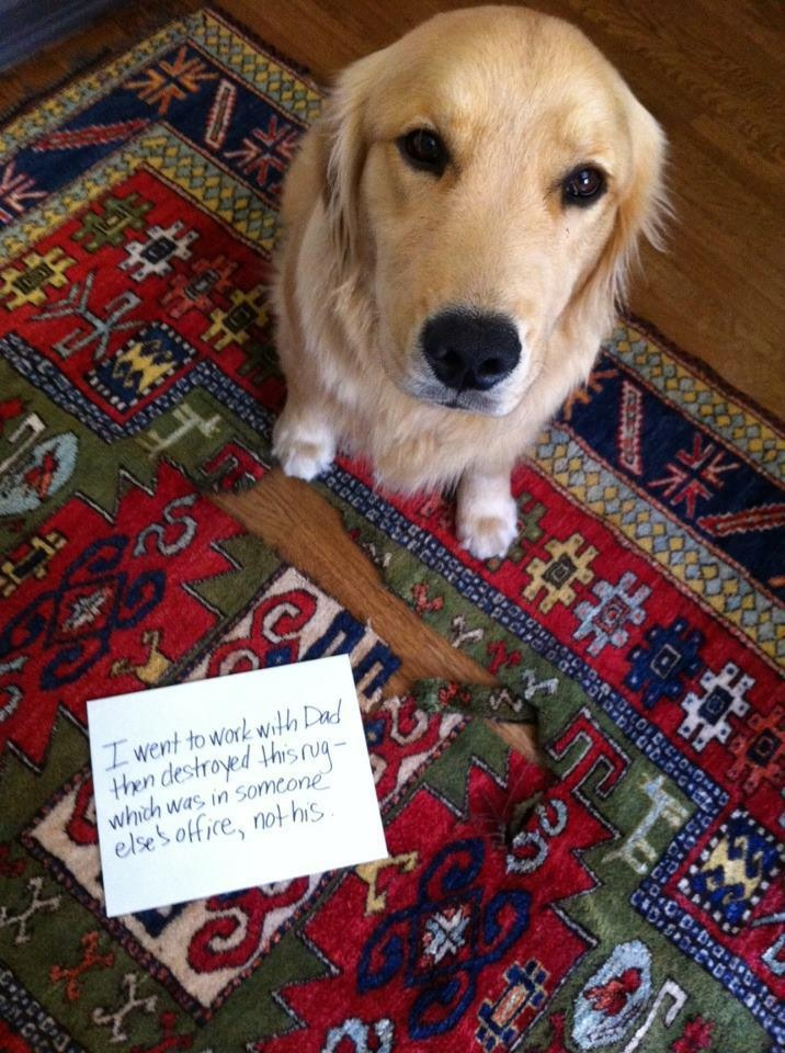 badjackDoggie, Pets, Goldenretriever Dogs, Animals Golden, Dogs Shaming, Dogs Adorable, Bad Dogs, Golden Retriever, Golden Goldenretriever