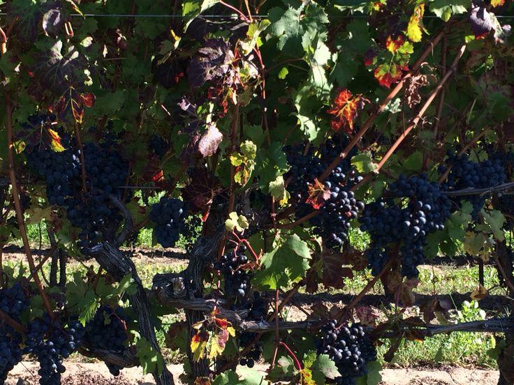 Niagara on-the-Lake vineyards! Ripe for picking