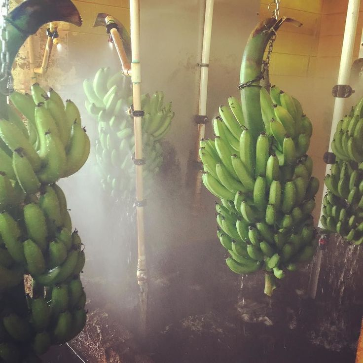 A visit to Australia's largest banana plantation #banana #tully #mackays