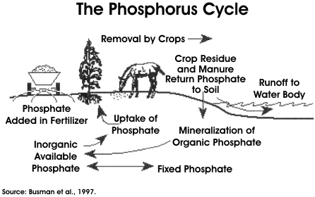 phosphorus cycle | Cycles | Pinterest | Biomes