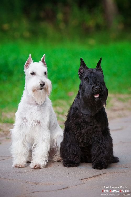 Schnauzer Dog opawz.com  supply pet hair dye,pet hair chalk,pet perfume,pet shampoo,spa....
