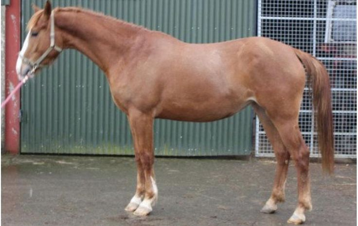 4 year old Filly by Pacino discipline: showjumping. Conformation critique greatly appreciated.