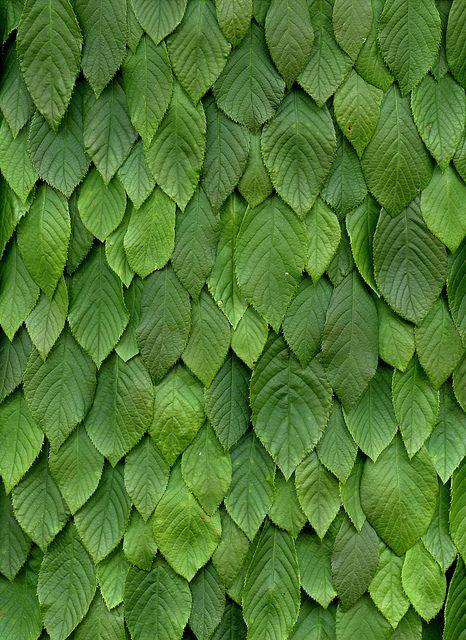 54541-01 Clethra alnifolia by horticultural art, via Flickr