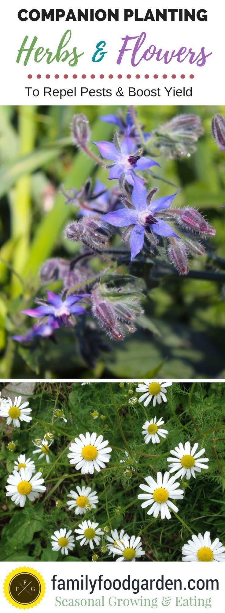 Compantion Planting Tips