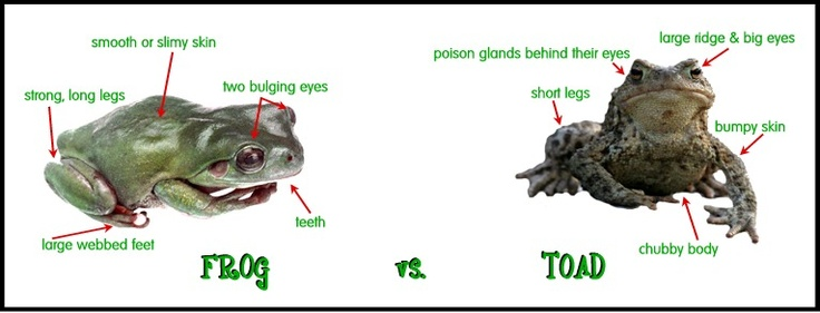 The difference between a frog and a toad