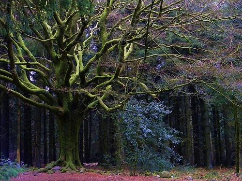 l'hêtre Ponthus en forêt de Brocéliande