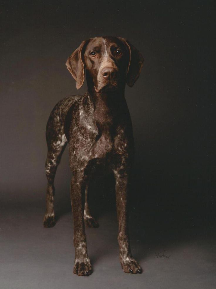 German Shorthaired Pointer - American Kennel Club