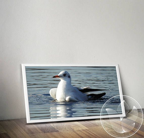 Instant download Black-headed gull with winter plumage