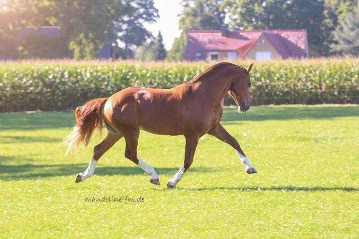 Freiberger Hengst Larson von Lars aus einer Charmeur-du-Maupas Stute in Deutschland, deutsches Freiberger Pferd, Freiberger Zucht in Deutschland
