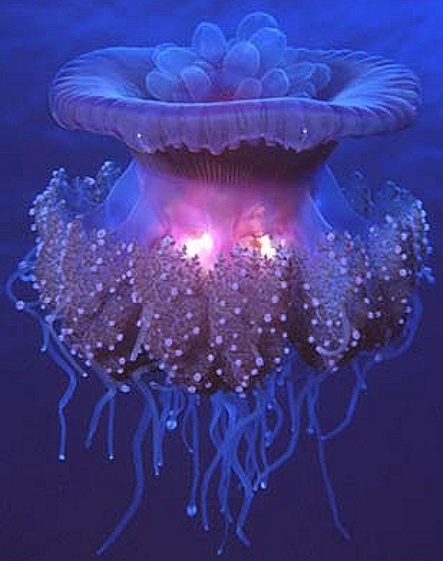 Trunk bay jellyfish