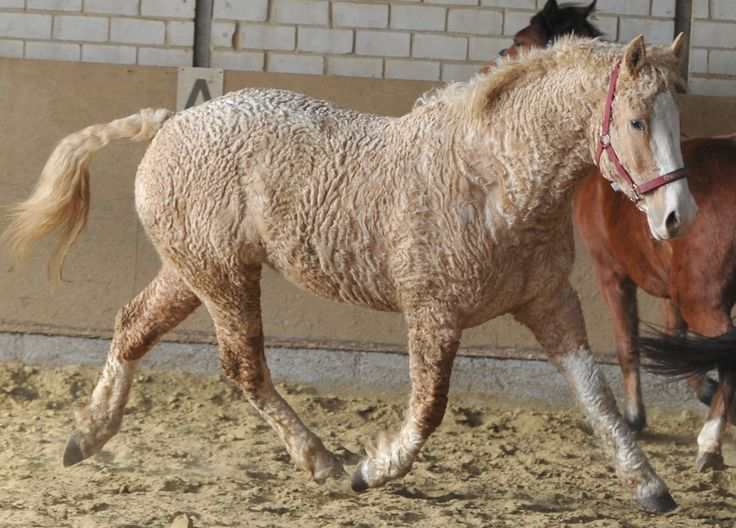 Bashkir Curly horses are hard to miss: Their characteristic curly coats make them stand out in any crowd. This versatile breed has a fascinating and mysterious history.