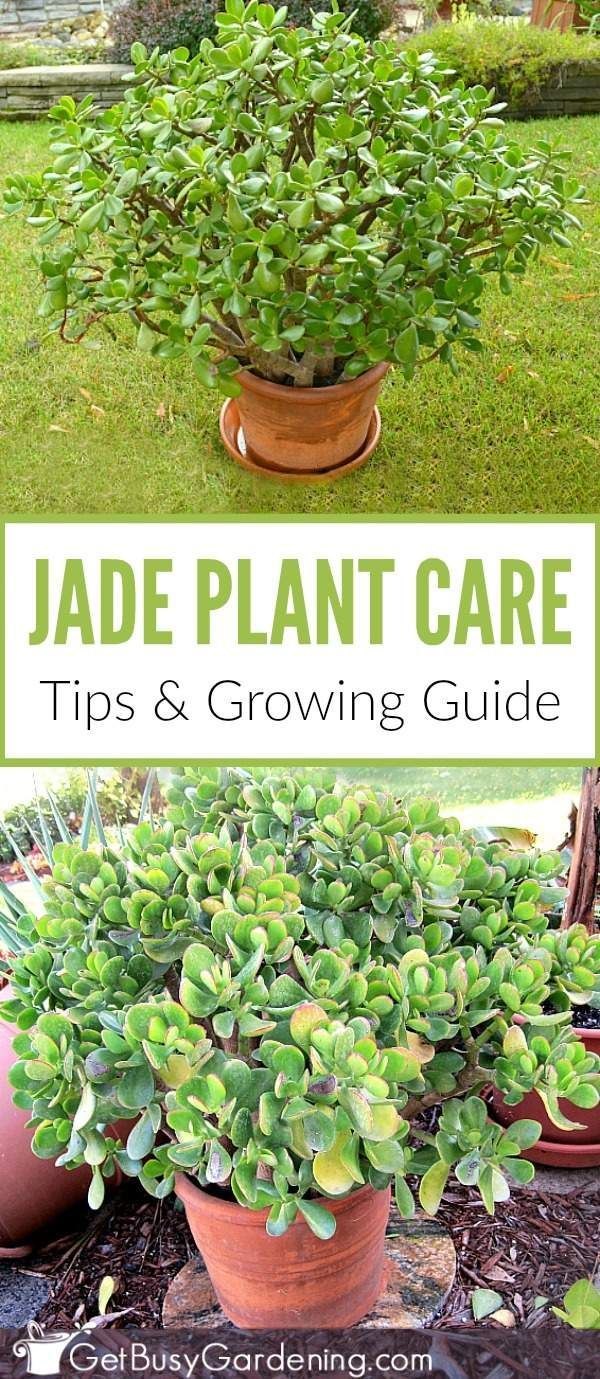 Jade plants are beautiful, and easy to care for! This super detailed guide is jam-packed with tons of jade plant care tips, and has all the information you need for successfully growing jade plants.