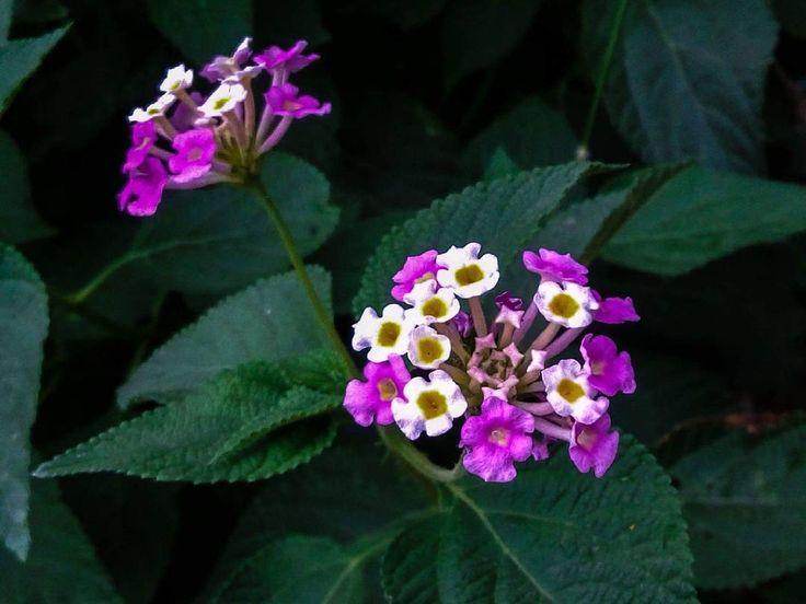 Lantana camara flowers #govindpathak #latehartourism