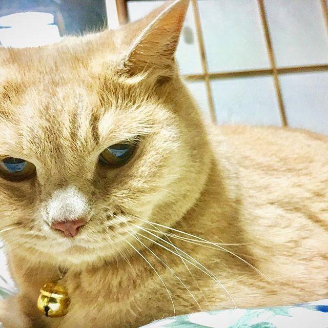 . 家に帰ってぼーちゃんと戯れる時間が癒されます。 昨日は初めてフミフミしてくれました(^ ^) 仕事の疲れも吹っ飛びます! 少しずつ懐いてきました! #cats #cat #猫 #ねこ #愛猫 #ぼーちゃん #耳はねてないけど #スコティッシュフォールド
