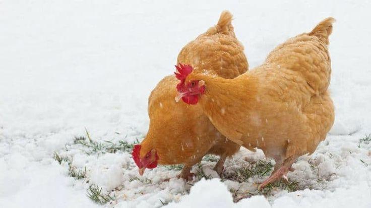 Easy Ways To Boost Your Chickens' Protein Over The Winterbehancebloglovindribbbleemailfacebookflickrgithubgplusinstagramlinkedinmediumperiscopephonepinterestrsssnapchatstumbleupontumblrtwittervimeoxingyoutube