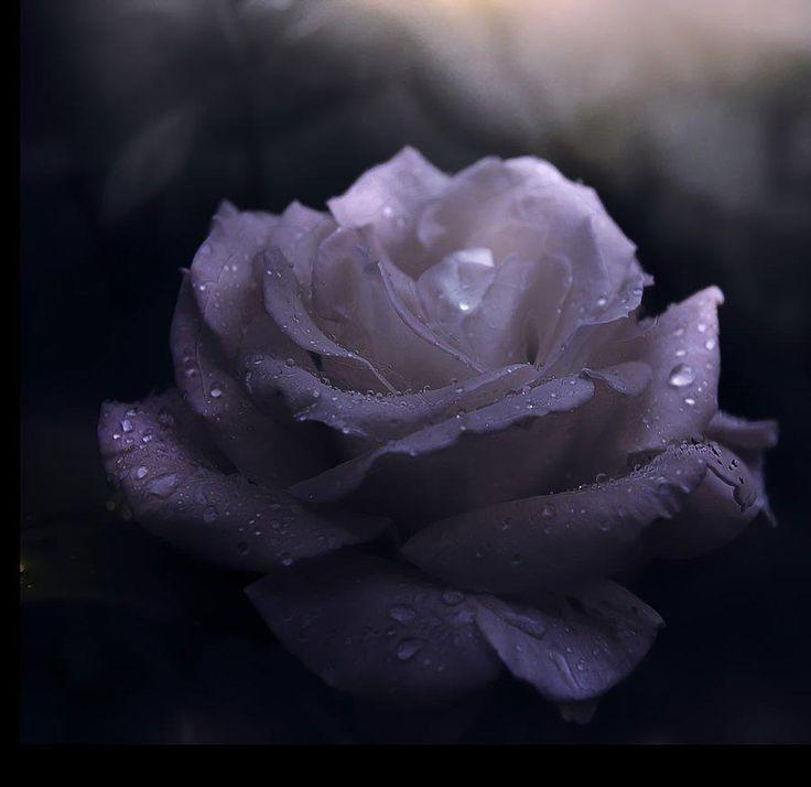 En el jardín de la Iglesia se cultivan: Las rosas de los mártires, los lirios de las vírgenes, las yedras de los casados, las violetas de las viudas. (San Agustín)