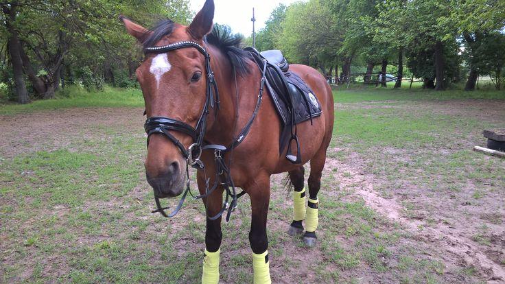 Schockemöhle Chrome Saddle Pad BR Lime Bandages HKM Felicitas Bridle Kentaur Napoli Breastplate