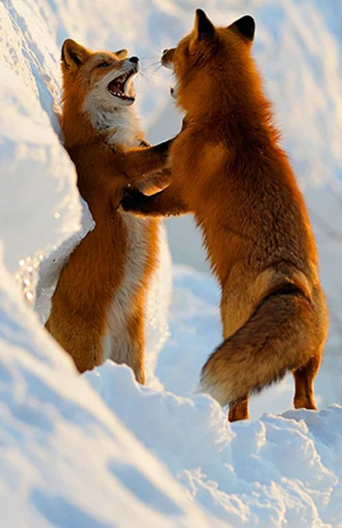 Red Foxes by Igor Shpilenok                                                                                                                                                                                 More