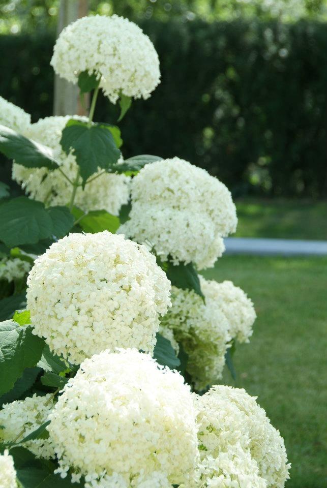 een border met Hydrangea arborescens 'Annabelle'