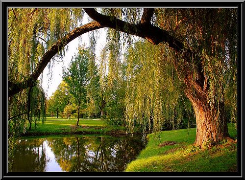 Willow Tree - Peace