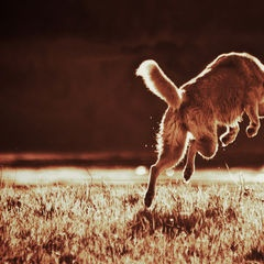 Absprung - Frolicking pooch. Beautiful dog.